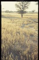 Acacia erioloba, Schmidtia halah, Kalahari Gemsbok National Park