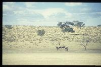 Acacia erioloba, Schmidtia kalahariensis, Kalahari Gemsbok National Park
