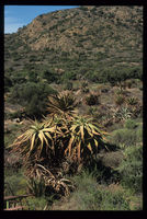Aloe speciosa Baker, north of Baviaanskloof