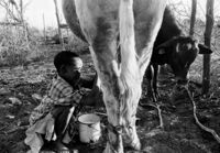 Child milks a cow