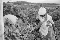 Farming in Tulbagh, 1996