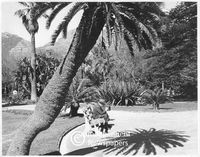 Cycads, Company's Gardens, Cape Town, 1965