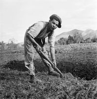 Farm labourer working on the land, Genadendal, South Africa