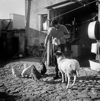 Man feeding his chickens, District Six, Cape Town, South Africa