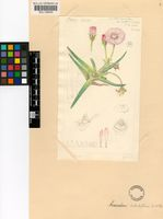 Acrodon bellidiflorus (L.) N.E.Br.