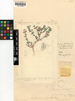 Amphibolia rupis-arcuatae (Dinter) H.E.K.Hartmann