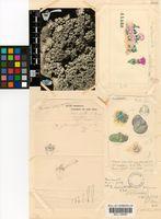 Antimima evoluta (N.E.Br.) H.E.K.Hartmann