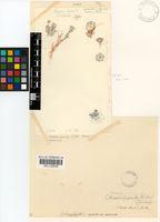 Antimima pumila (Fedde & K.Schust.) H.E.K.Hartmann