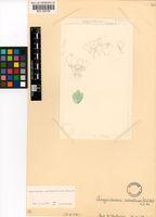 Argyroderma subalbum (N.E.Br.) N.E.Br.