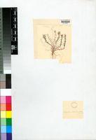 Aspazoma amplectens (L.Bolus) N.E.Br.