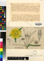 Carpobrotus edulis (L.) L.Bolus subsp. edulis