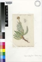 Cephalophyllum alstonii Marloth ex L.Bolus