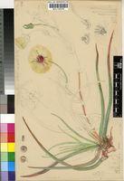 Cephalophyllum pillansii L.Bolus