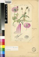Cephalophyllum purpureo-album (Haw.) Schwantes