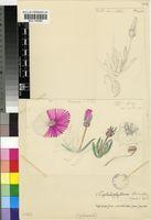 Cephalophyllum subulatoides (Haw.) N.E.Br.