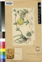 Cephalophyllum loreum (L.) Schwantes