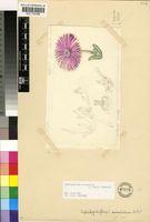 Cephalophyllum curtophyllum (L.Bolus) Schwantes