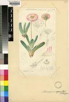 Cephalophyllum caespitosum H.E.K.Hartmann