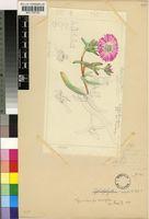 Cephalophyllum regale L.Bolus