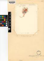 Cheiridopsis brownii Schick & Tischer