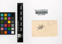 Cheiridopsis caroli-schmidtii (Dinter & A.Berger) N.E.Br.