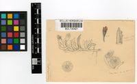 Chasmatophyllum musculinum (Haw.) Dinter & Schwantes