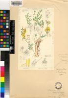 Drosanthemum zygophylloides (L.Bolus) L.Bolus