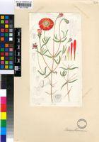 Drosanthemum splendens L.Bolus