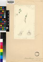Drosanthemum praecultum (N.E.Br.) Schwantes