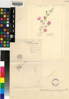 Drosanthemum parvifolium (Haw.) Schwantes