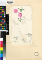 Drosanthemum oculatum L.Bolus