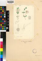 Drosanthemum schoenlandianum (Schltr.) L.Bolus
