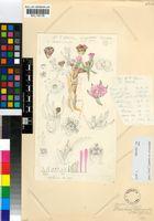 Ebracteola wilmaniae (L.Bolus) Glen