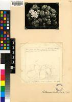 Gibbaeum heathii (N.E.Br.) L.Bolus