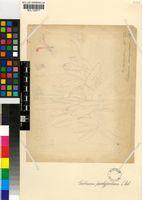 Gibbaeum pachypodium (Kensit) L.Bolus