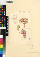 Gibbaeum pilosulum (N.E.Br.) N.E.Br..