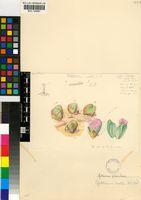 Gibbaeum pilosulum (N.E.Br.) N.E.Br.