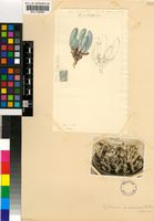 Gibbaeum pubescens (Haw.) N.E.Br.