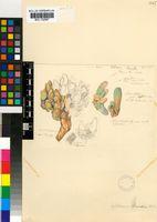 Gibbaeum shandii N.E.Br.