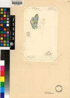 Gibbaeum sp.