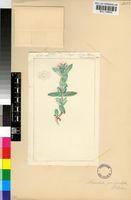 Antimima paripetala (L.Bolus) Klak