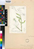 Caulipsolon rapaceum (Jacq.) Klak