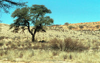 Lions resting under a tree within the Kgalagadi Transfrontier Park.