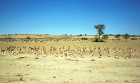 Springbok herd in the Kgalagadi Transfrontier Park.