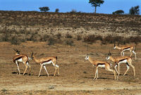 Springbok herd in the Nossob Valley, Kgalagadi Transfrontier Park.