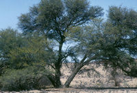 A Camel Thorn tree inside the Kgalagadi Transfrontier Park.
