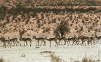 Springbok herd in the Nossob Valley within the Kgalagadi Transfrontier Park.