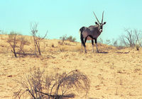 Gemsbok on the dunes, Kgalagadi Transfrontier Park