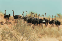 A flock of ostriches at |Khupugi |hoab