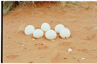 Ostrich egg containers on a dune near |Haiǂgas pan